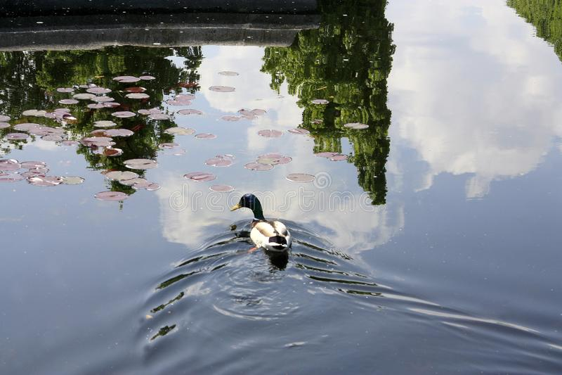 El pato nada en un lago reservado foto de archivo