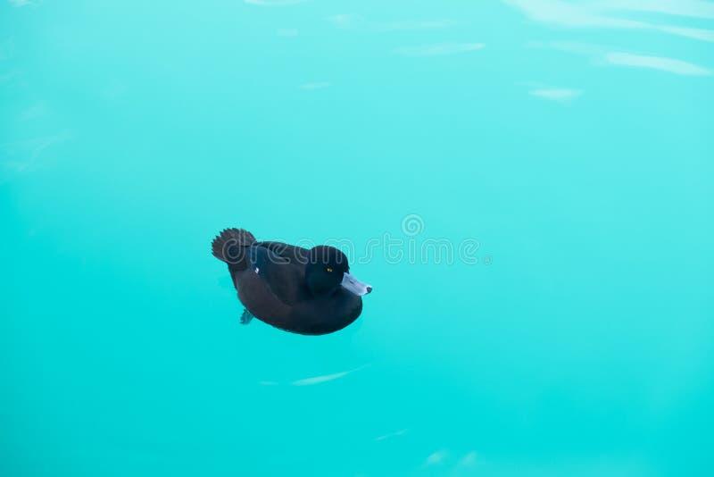 El pato negro está nadando pacífico en el pukaki de color salmón del lago de la granja en la isla del sur Nueva Zelanda fotos de archivo