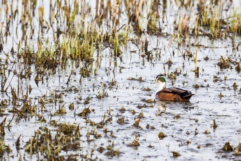 El pato salvaje foto de archivo libre de regalías