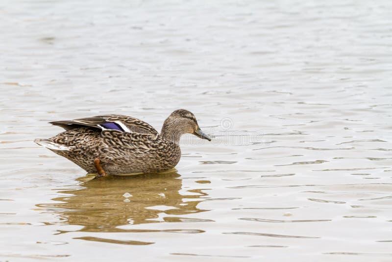 El pato salvaje foto de archivo