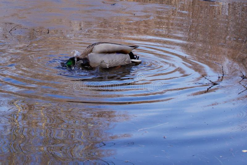 El pato salvaje salpica en el agua azul de fusión, creando círculos y salpica fotos de archivo libres de regalías