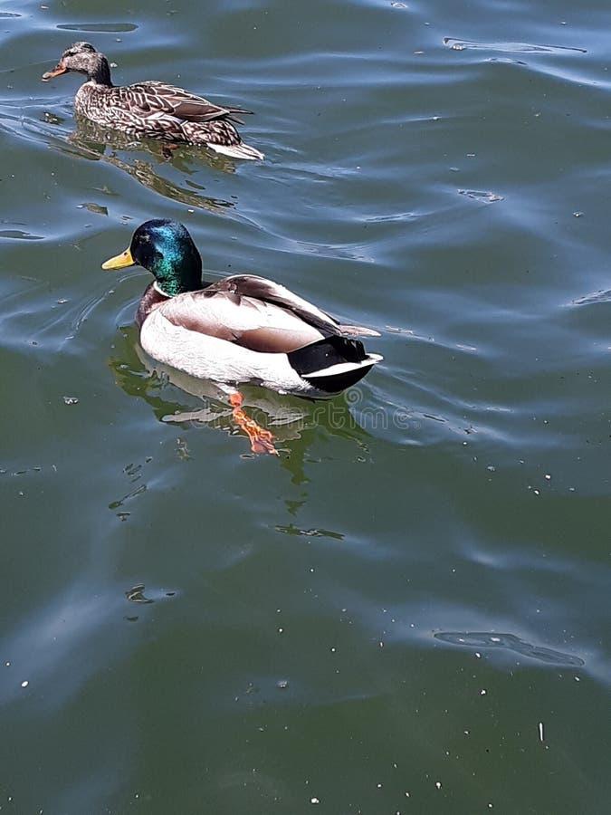 El pato silvestre Ducks la hembra y al var?n imagen de archivo libre de regalías