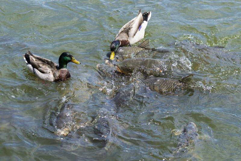 El pato silvestre masculino Ducks la competición con los pescados de la carpa para la comida imagenes de archivo