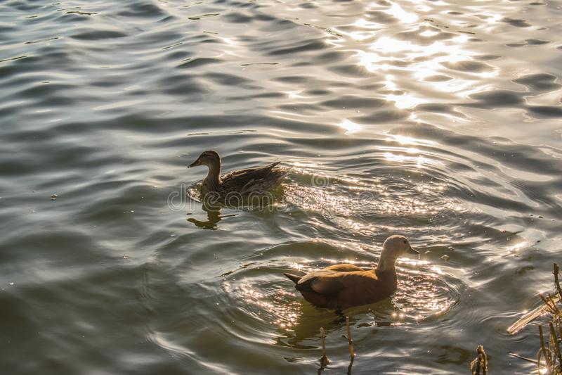 El pato vivo del rojo en una charca fresca, nada y camina a través de su territorio, picotea y siega la hierba Él come en la char fotos de archivo
