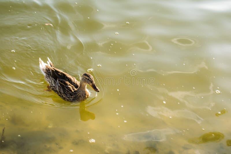 El pato vivo del rojo en una charca fresca, nada y camina a través de su territorio, picotea y siega la hierba Él come en la char imagen de archivo