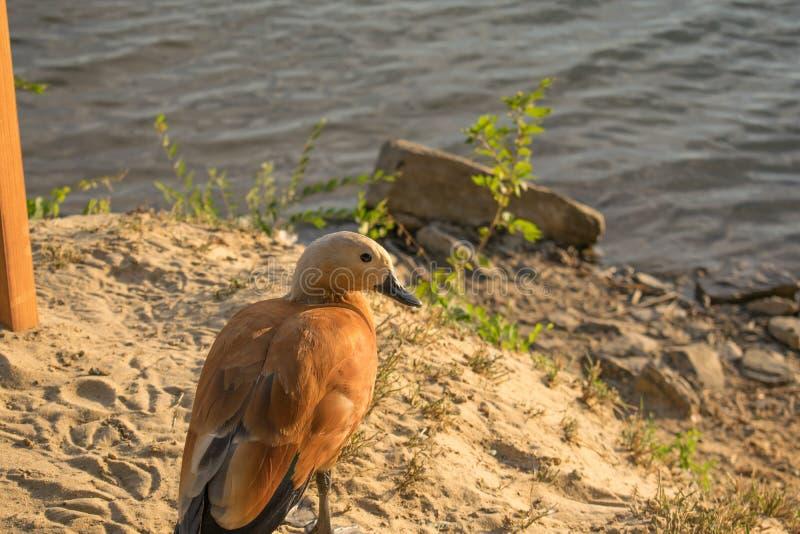 El pato vivo del rojo en una charca fresca, nada y camina a través de su territorio, picotea y siega la hierba Él come en la char foto de archivo libre de regalías