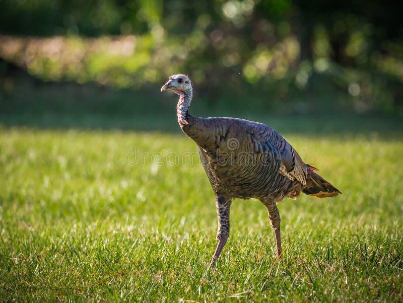 El pavo femenino salvaje camina a través de campo de hierba foto de archivo libre de regalías