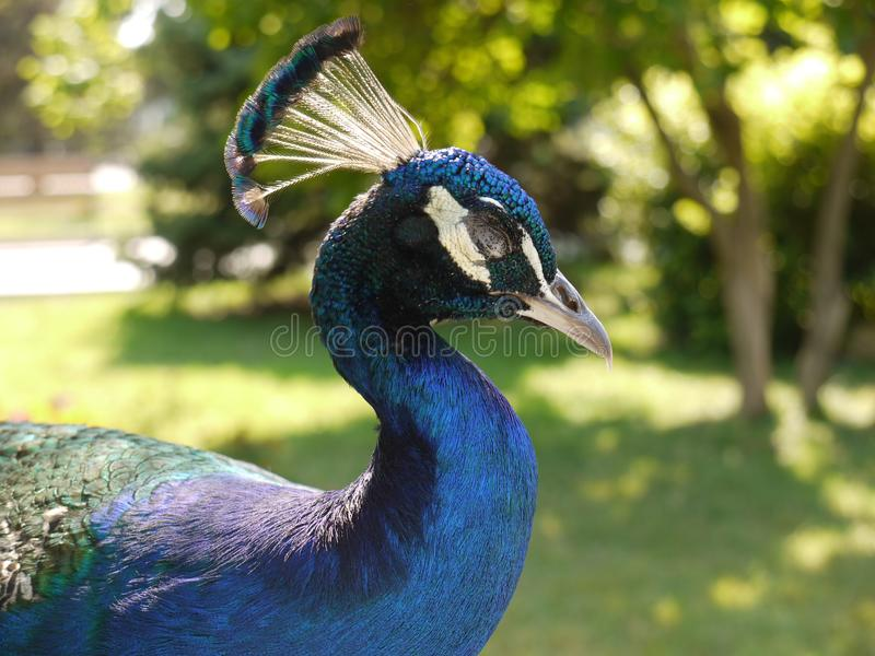 El pavo real azul hermoso con explosiones en su cabeza manchada en el ` s del sol observa imagen de archivo
