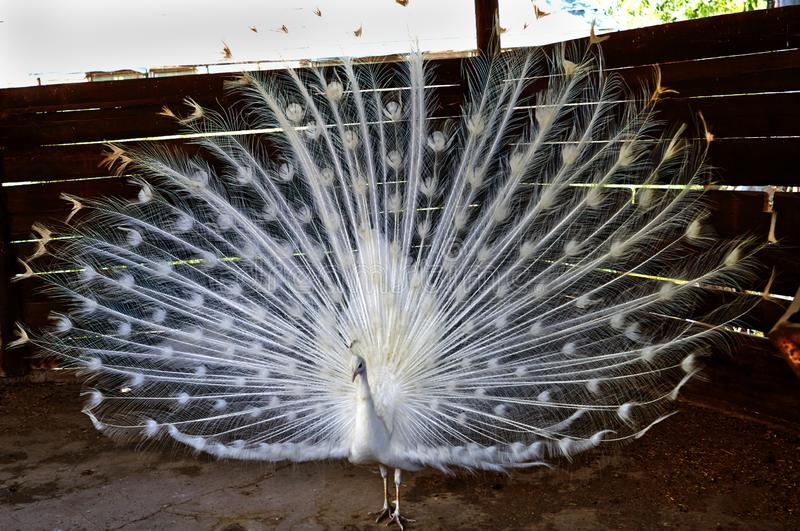El pavo real blanco disolvió una cola grande y hermosa foto de archivo