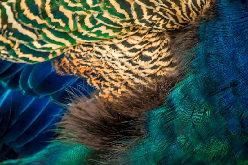 El pavo real colorido empluma textura del fondo del primer imagen de archivo libre de regalías