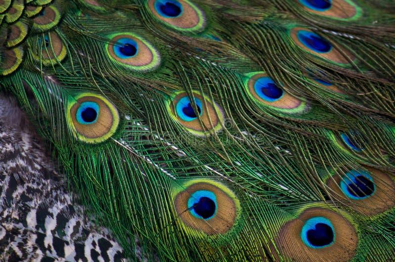 El pavo real de Museo Dolores Olmedo empluma DF Ciudad de México imagenes de archivo