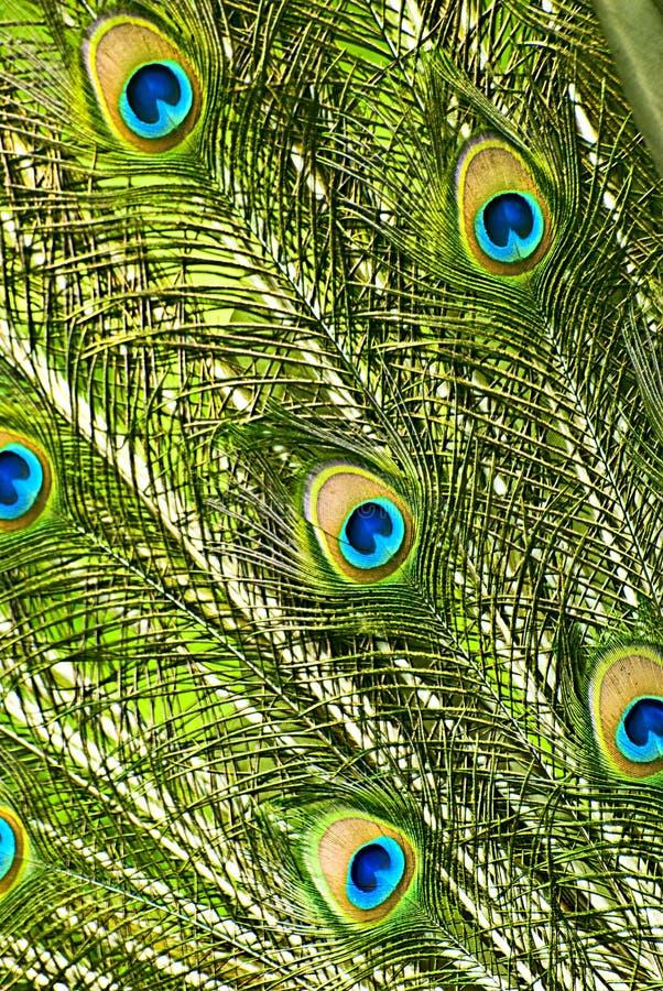 El pavo real empluma el primer imagen de archivo