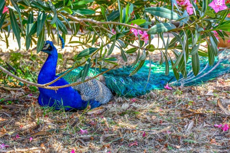 El pavo real fotografió de detrás con la cola colorida en primero plano y cabeza imagen de archivo libre de regalías