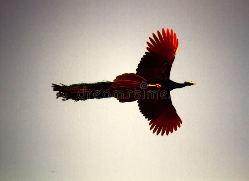 El pavo real macho con la cola larga en vuelo imagenes de archivo