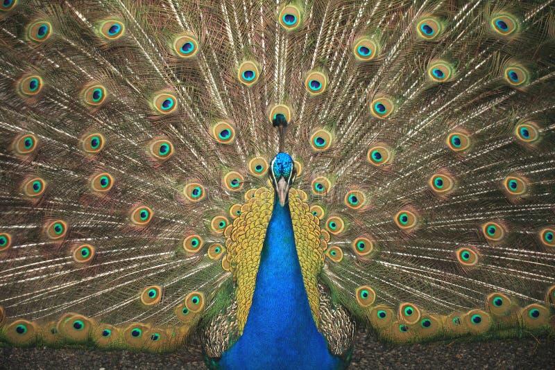 El pavo real sabido tiene el Peafowl Pavo fotografía de archivo