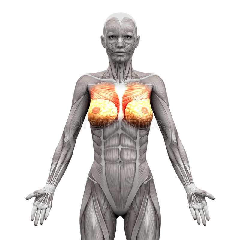El Pecho Muscles - Músculo Pectoral Mayor Y Menor - La ISO De Los ...