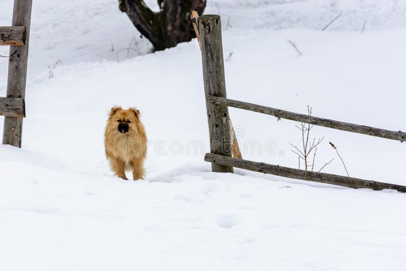 El pekinés es una situación linda preciosa del perro en una nieve nevosa cerca de la cerca foto de archivo libre de regalías