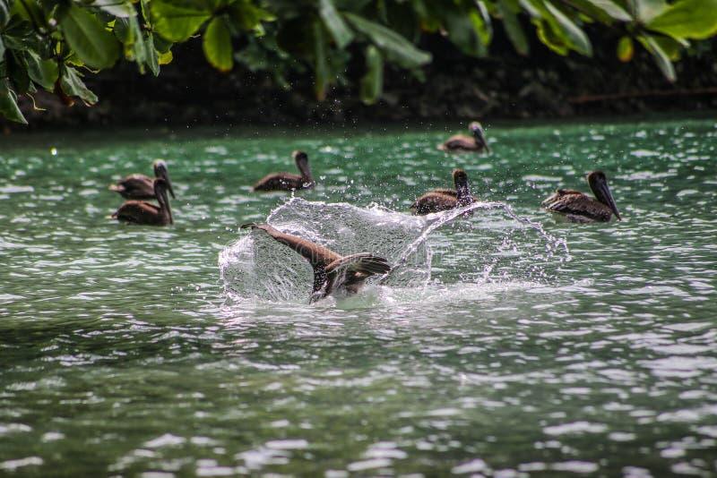 El pelícano juvenil se zambulle para los pescados, sal de Punta, Honduras fotografía de archivo