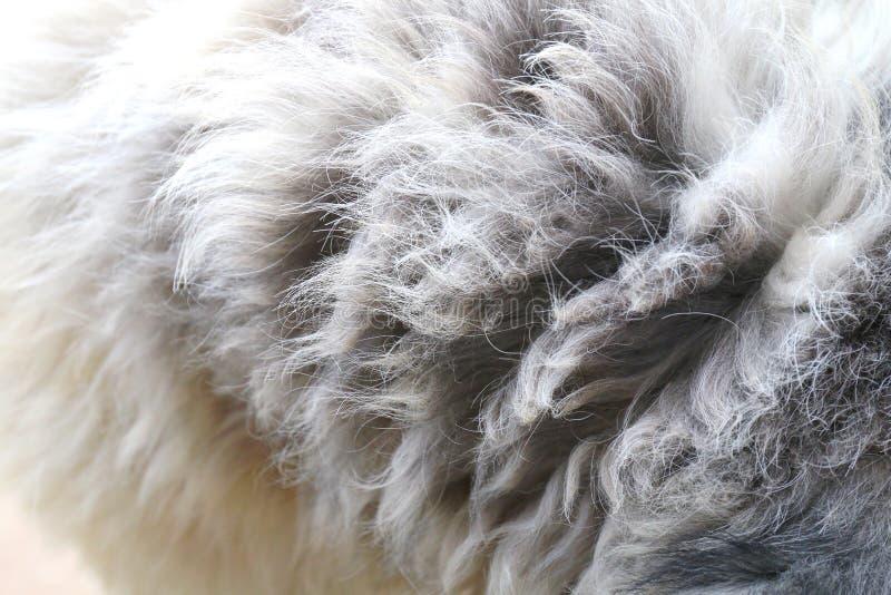 El pelo la piel del perro, piel del perro sucio, piel sucia del pelo de las lanas del perro, texturiza el enredo sucio del cierre fotos de archivo libres de regalías