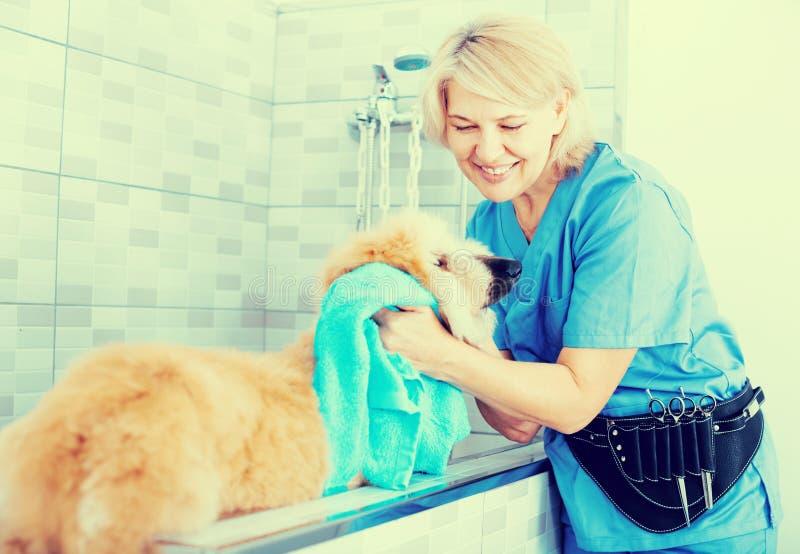 El peluquero maduro de la mujer limpia el perrito del afgano en el peluquero para los perros fotos de archivo