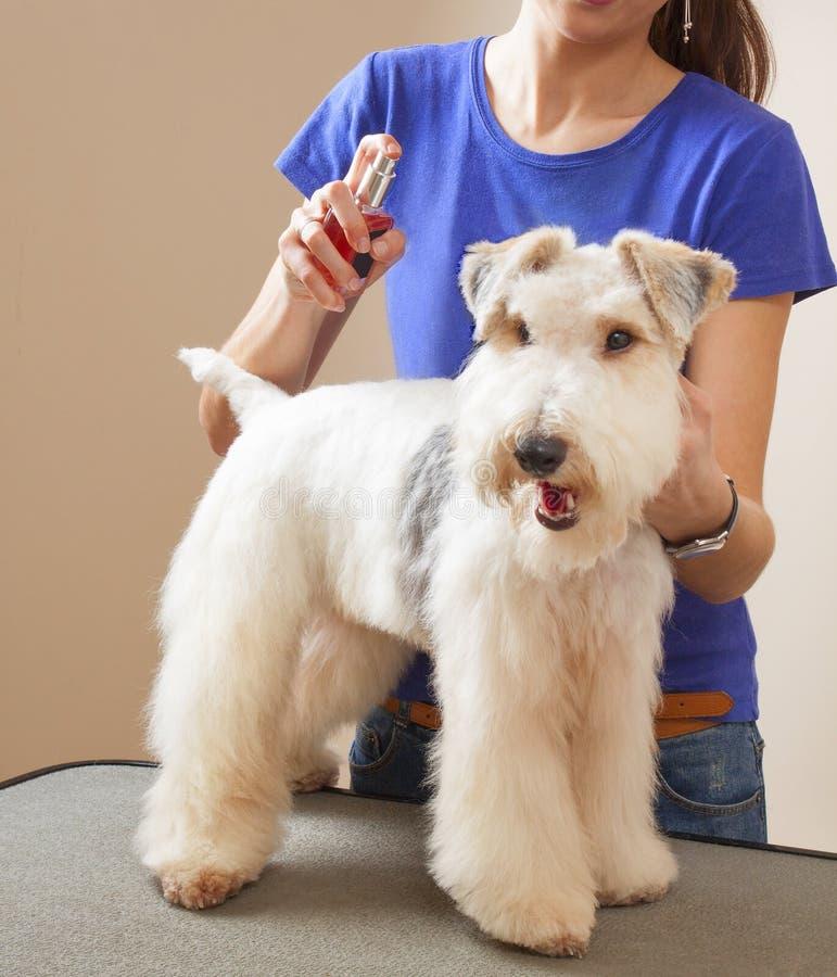 El peluquero rocía el fox terrier fotos de archivo libres de regalías