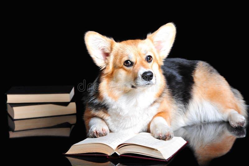 El Pembroke del Corgi Galés lee un libro, aislado en negro fotos de archivo