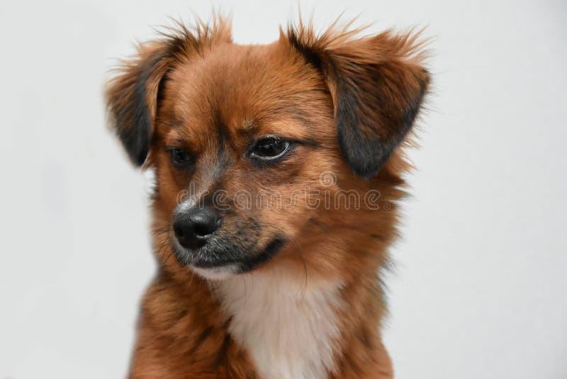El pequeña caer cansada del perro de perrito poco antes dormido imágenes de archivo libres de regalías