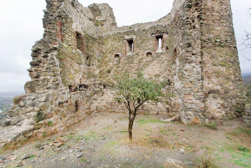 El pequeño árbol creció en ruinas de un templo antiguo con las paredes de ladrillo imagen de archivo libre de regalías