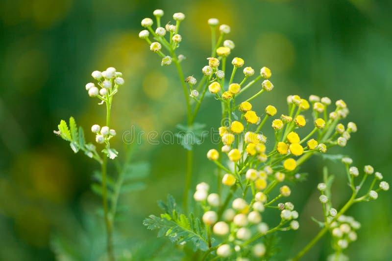 El pequeño amarillo hermoso florece el primer en el verano foto de archivo