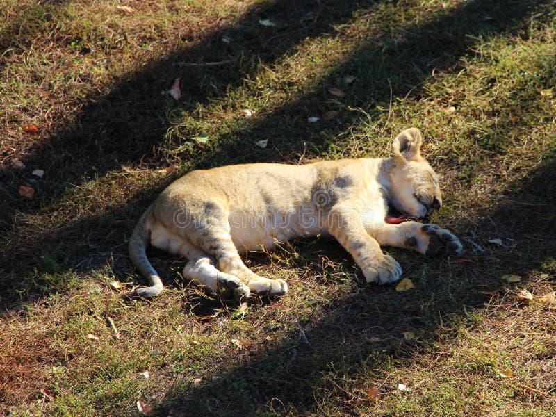 El pequeño cachorro de león duerme en la tierra fotos de archivo