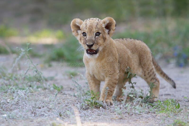 El pequeño cachorro de león muestra sus dientes con un rugido imagen de archivo