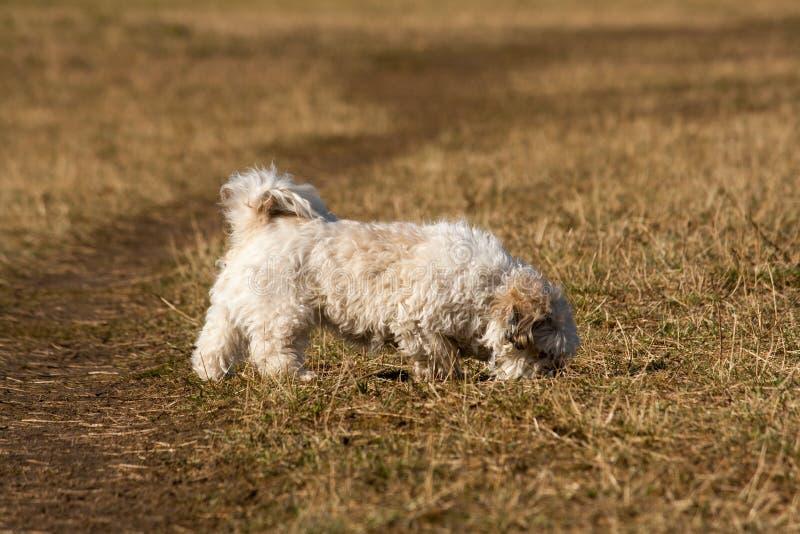 El pequeño caminar del perro del híbrido imagen de archivo