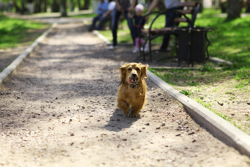El pequeño caminar rojo del perro foto de archivo