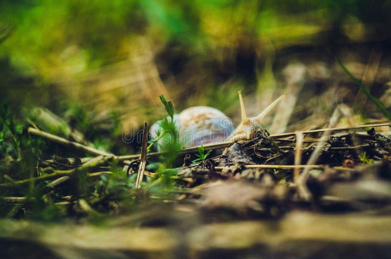 El pequeño caracol de la uva en el bosque imagen de archivo libre de regalías