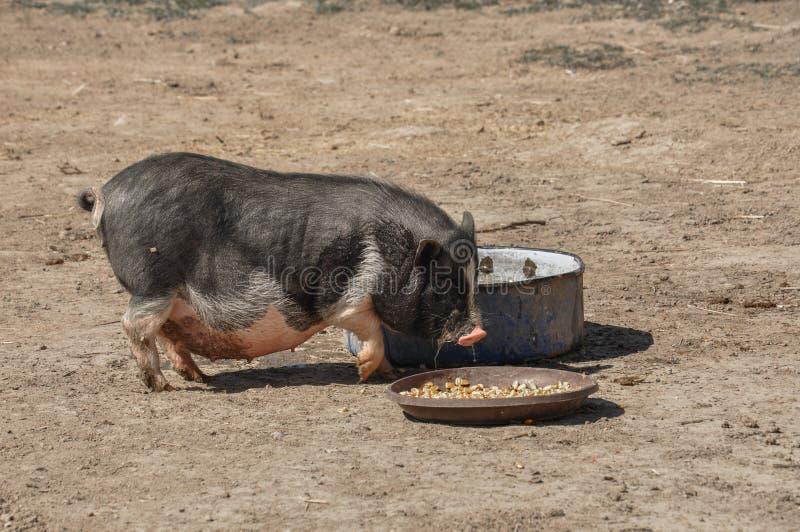 El pequeño cerdo come la comida en la yarda imagen de archivo