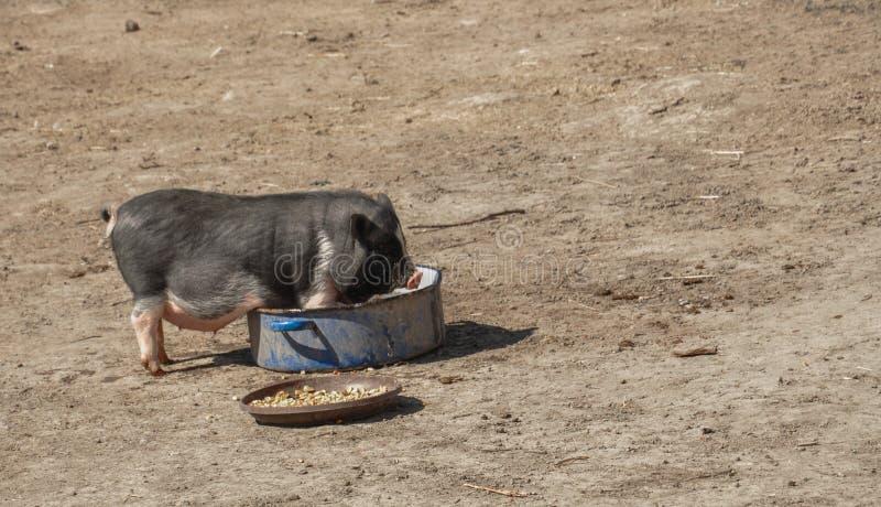 El pequeño cerdo come la comida en la yarda fotografía de archivo