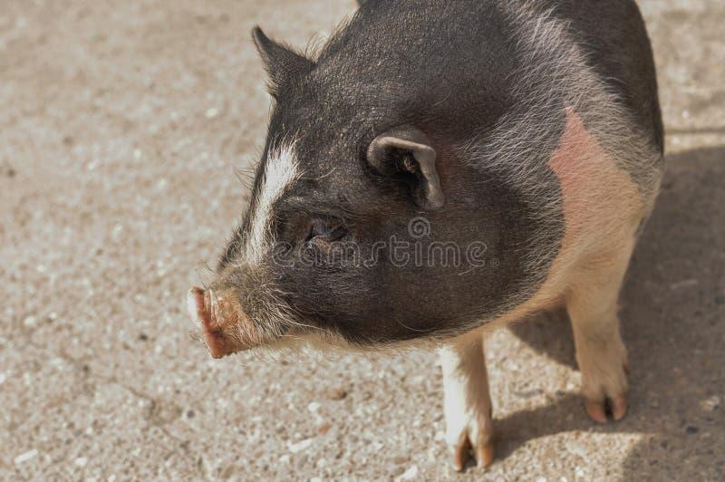 El pequeño cerdo come la comida en la yarda foto de archivo libre de regalías