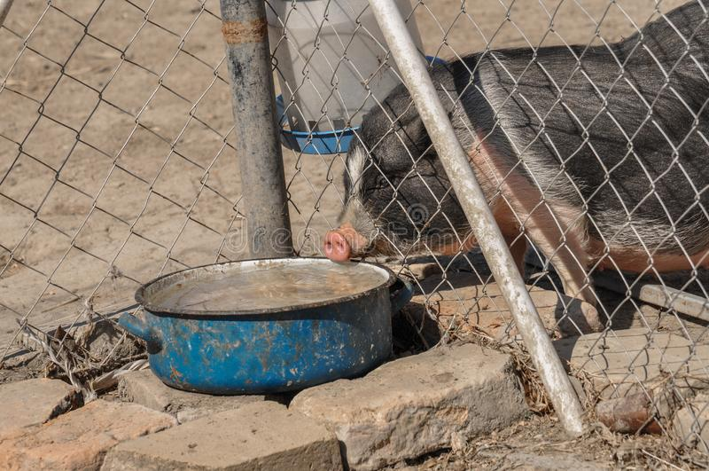El pequeño cerdo come la comida en la yarda foto de archivo