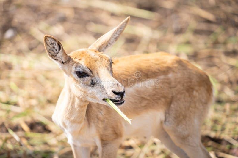 El pequeño ciervo del bebé está comiendo la hierba foto de archivo libre de regalías