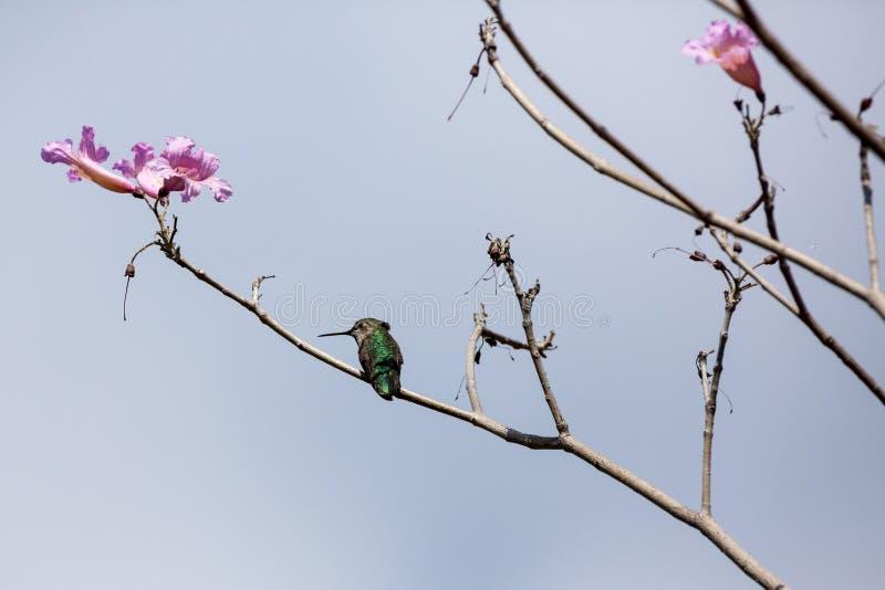 El pequeño colibrí se sienta en una rama floreciente con los flores rosados fotos de archivo libres de regalías