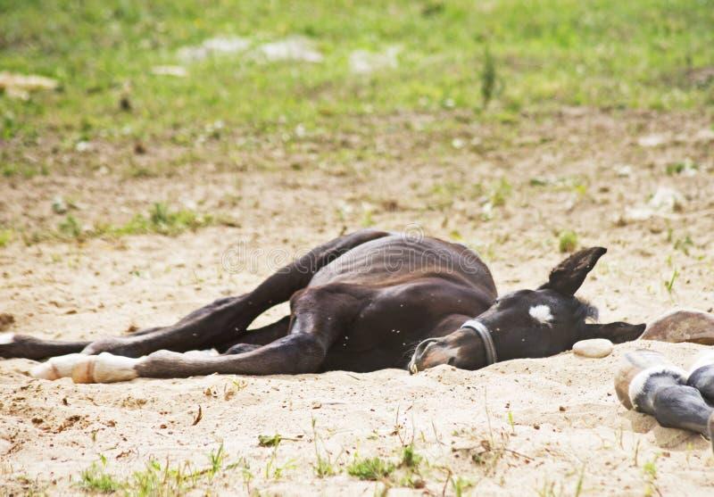 El pequeño dormir del caballo fotografía de archivo libre de regalías