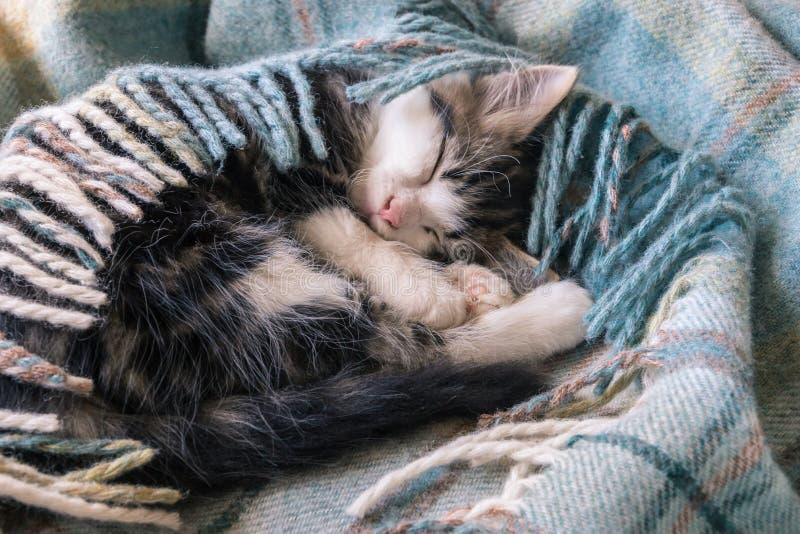 El pequeño dormir del gatito del gato atigrado encrespado para arriba en manta azul del tartán imagen de archivo
