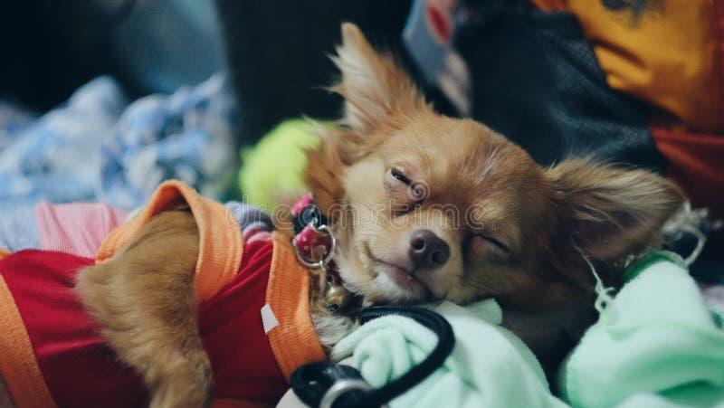 El pequeño dormir del perro imagen de archivo