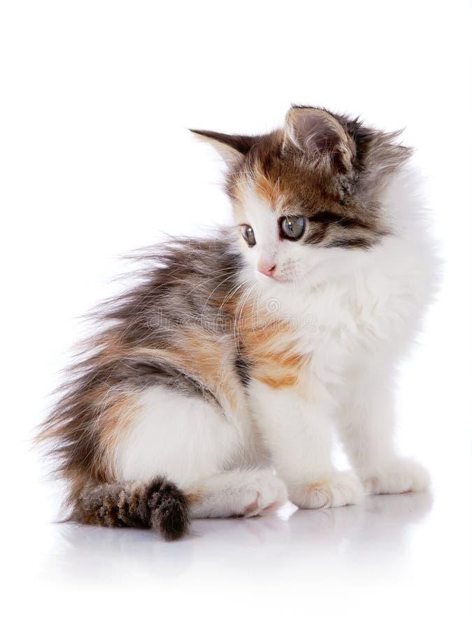 El pequeño gatito multicolor se sienta imagenes de archivo