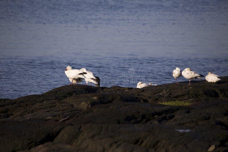 El pequeño grupo de blanco-morph los gansos de nieve que se basan sobre rocas en el sol de la madrugada, varios con las alas queb imagenes de archivo
