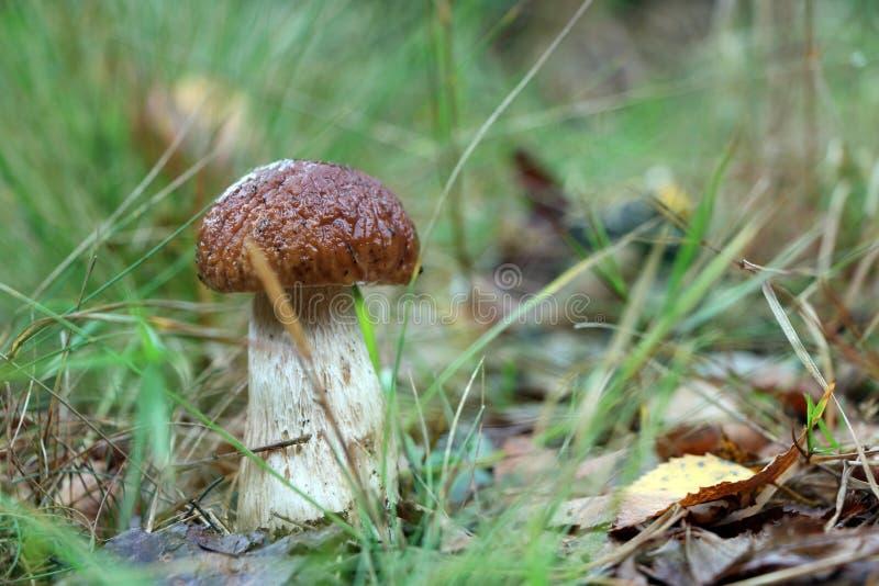 El pequeño hongo blanco crece en hierba foto de archivo libre de regalías