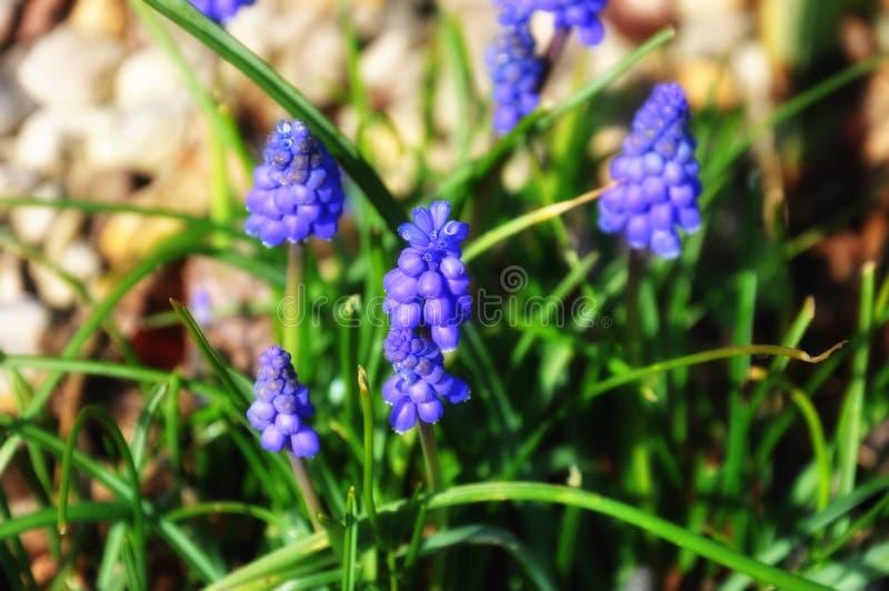 El pequeño jardín púrpura florece al principio de la primavera foto de archivo