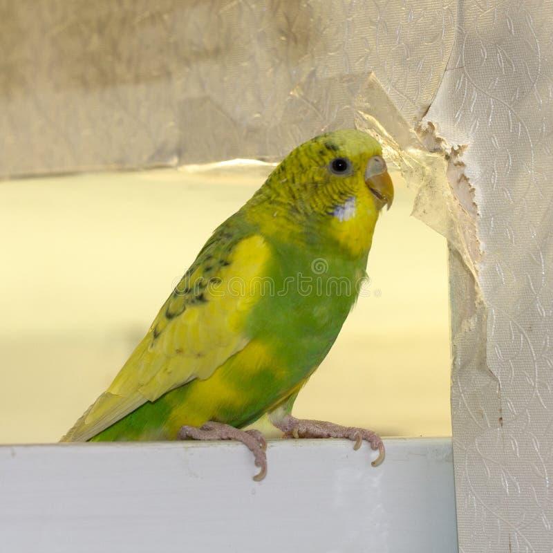 El pequeño loro ondulado verde amarillo, sentándose en una rama, roe los rasgones rasguña la pared, haciendo daño empapelar el pa fotos de archivo