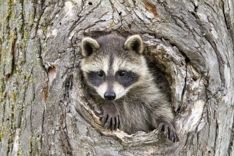 El pequeño mirar a escondidas del mapache nuestro del agujero en árbol imagen de archivo libre de regalías