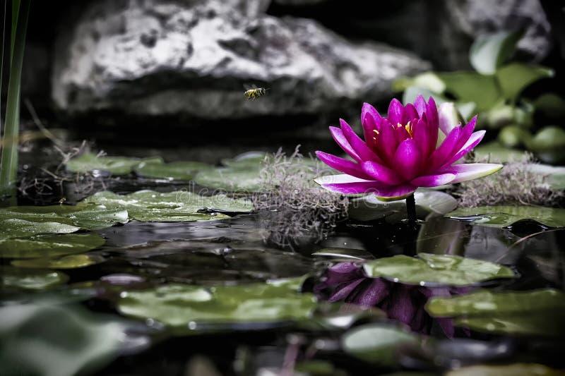 El pequeño mundo de una charca y de un lirio de agua rosado foto de archivo libre de regalías